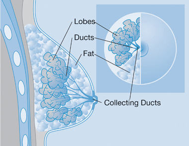 diagram_breast_380